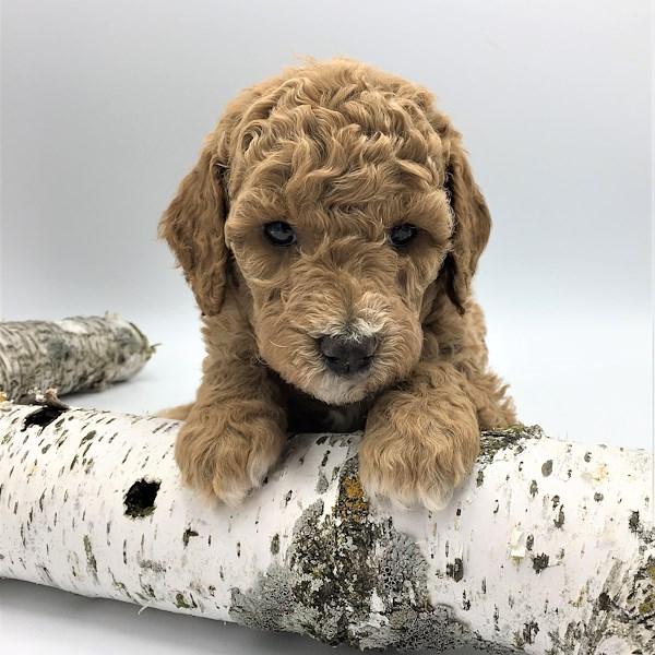 Toby, AKC Poodle
